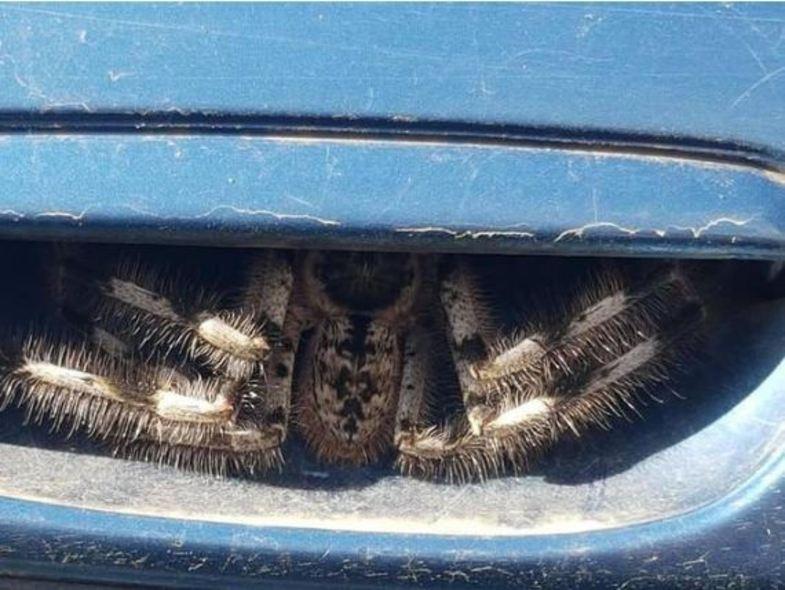 جا خوش کردن عنکبوت وحشتناک در خودرو +عکس