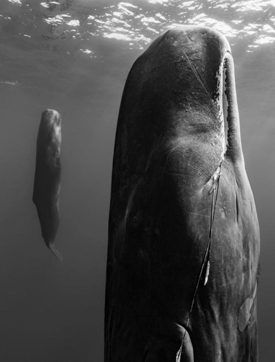 خواب عجیب نهنگ ها در اعماق اقیانوس +عکس