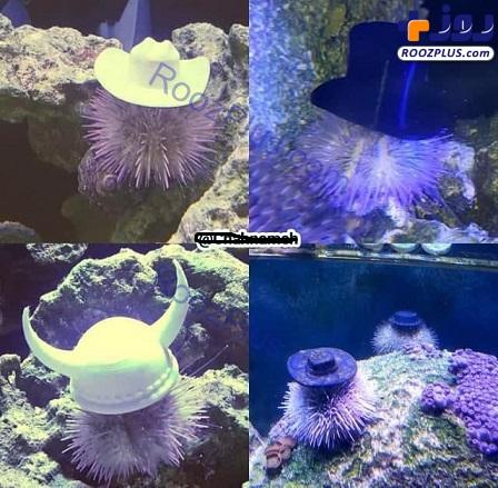 خارپشتهای دریایی کلاه به سر+عکس