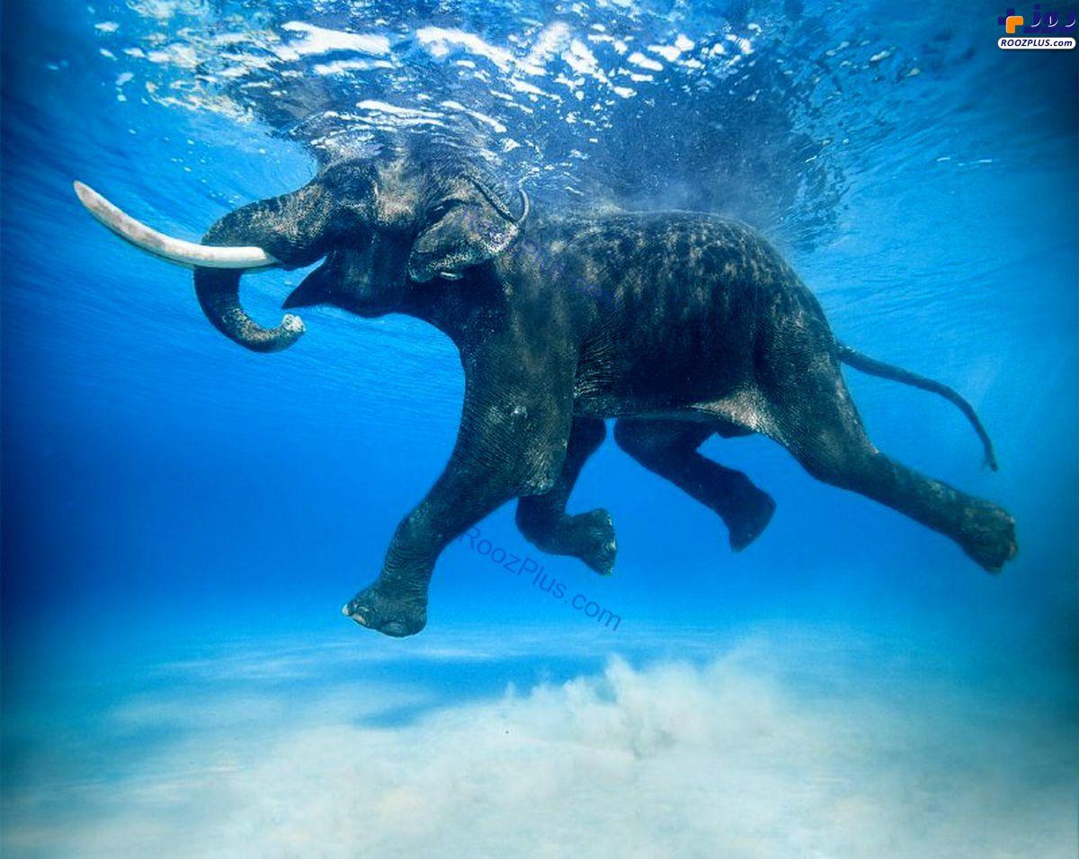 شنای فیل خوشحال +عکس