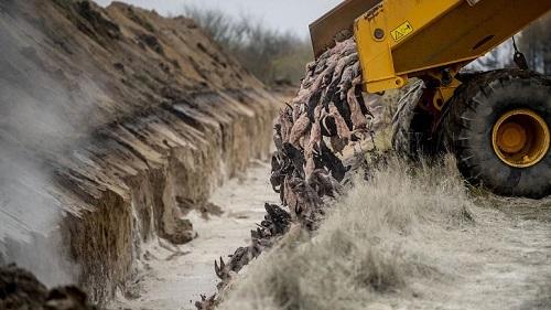 لاشه صدها راسو پس از دفن در دانمارک بیرون زد