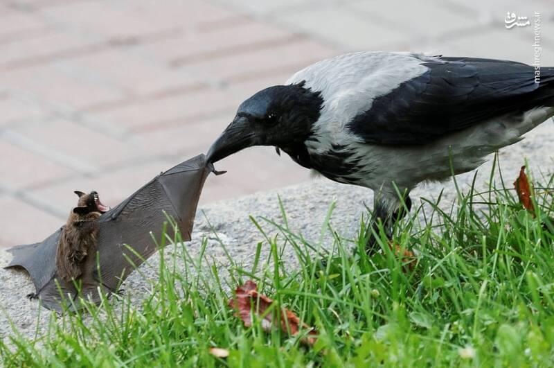 درگیری خفاش و کلاغ+عکس