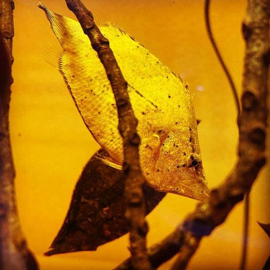 این ماهی برای استتار خود را شبیه یک برگ مرده و افتاده یک درخت در رود جا میزند!