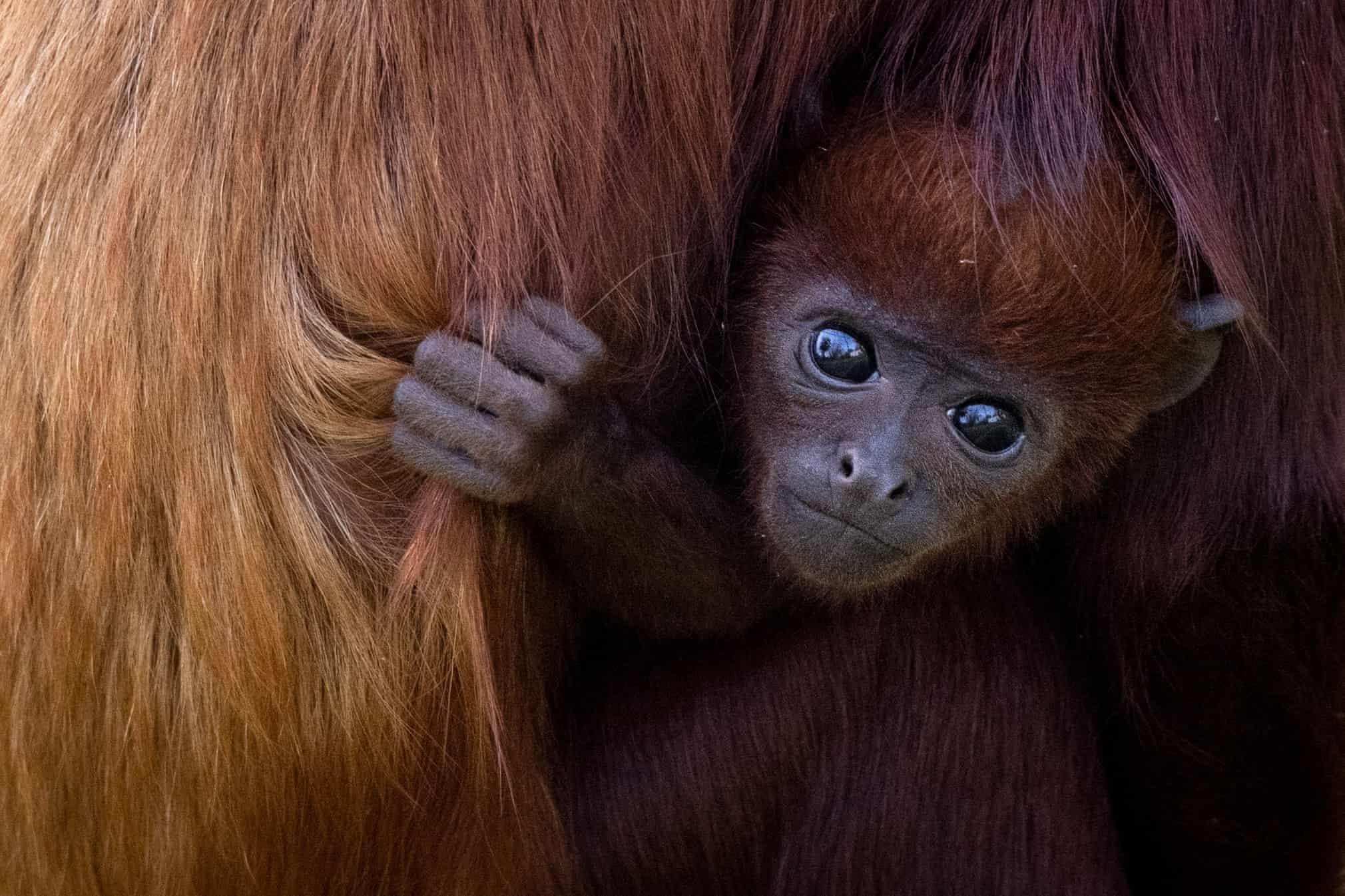 میمون تازه متولد شده در پارک جانورشناسی فرانسه + عکس