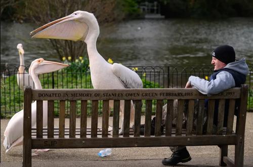 جثه بزرگ پلیکان های پارکی در لندن + عکس