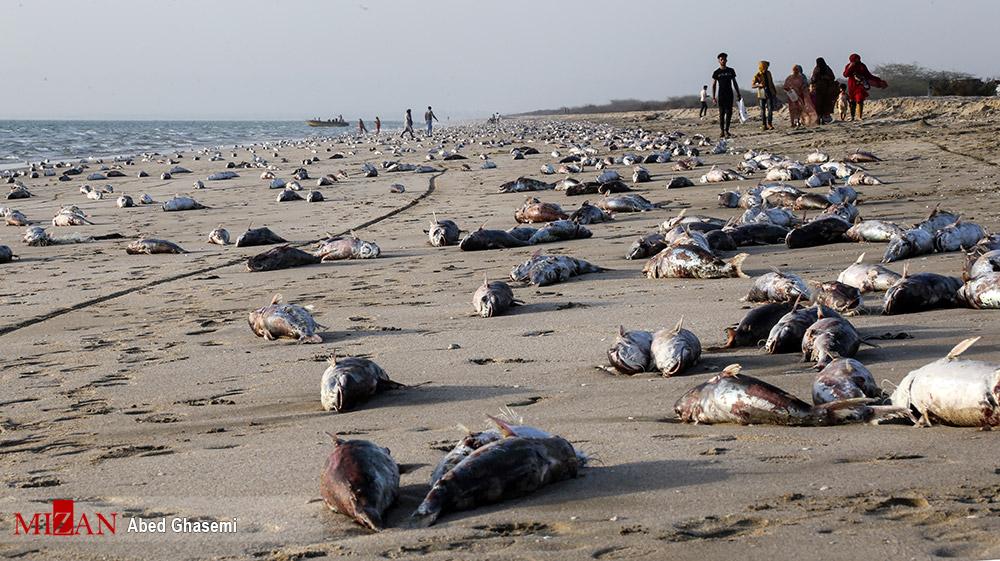 معمای مرگ گربه ماهی ها در ساحل جاسک + عکس