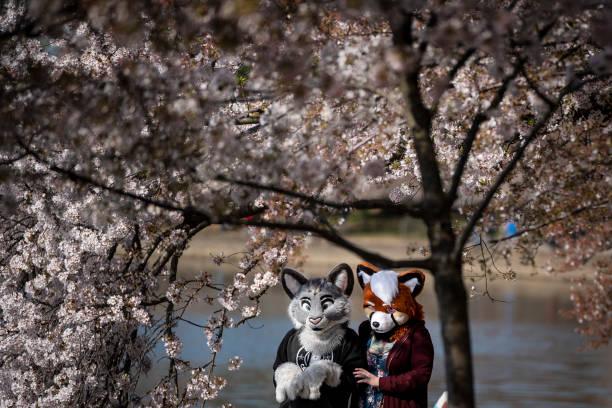 شکوفه های زیبای گیلاس در واشنگتن دی سی + عکس