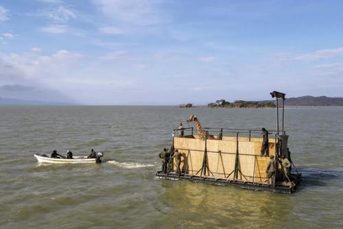 طریقه جالب انتقال یک زرافه از رود بارینگو در کنیا + عکس