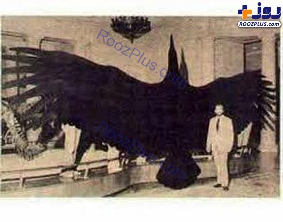 بزرگترین پرنده دنیا با وزن 800 کیلوگرم+ عکس