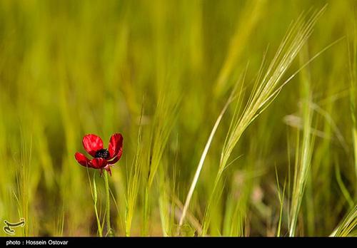دشت گل شقایق در دشتستانِ بوشهر+عکس