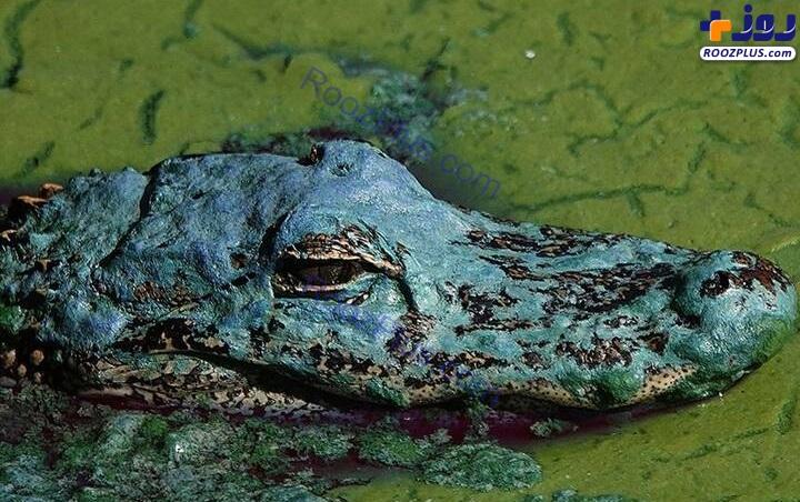 عکسی عجیب از یک تمساح در میان جلبک ها