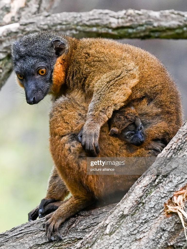 تصاویر جالب نوع خاصی از میمون ماکاک
