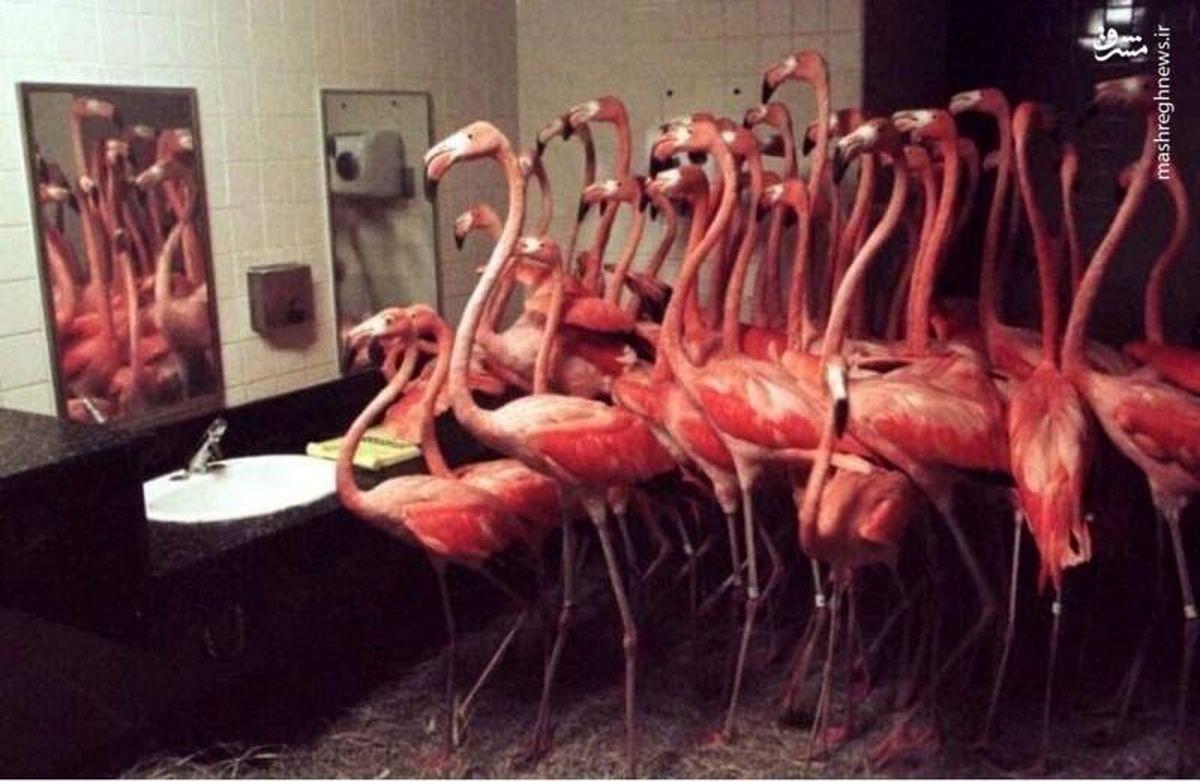 حبس فلامینگوها در دستشویی+عکس