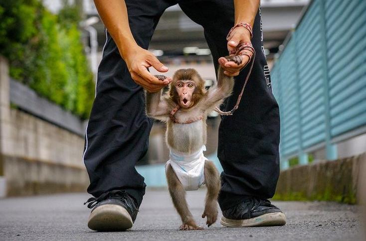 آموزش میمون برای اجرای نمایش در ژاپن + عکس