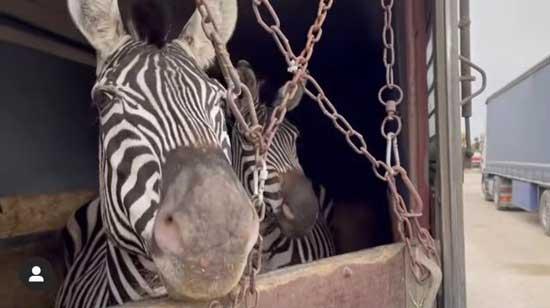 مرگ گورخر آفریقایی در یکی از باغوحشهای تهران