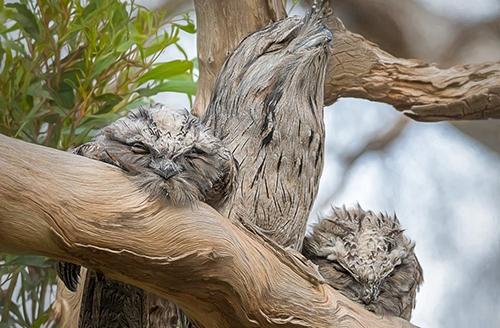 جغد دهانقورباغهای؛ لایکخورترین پرنده اینستاگرام