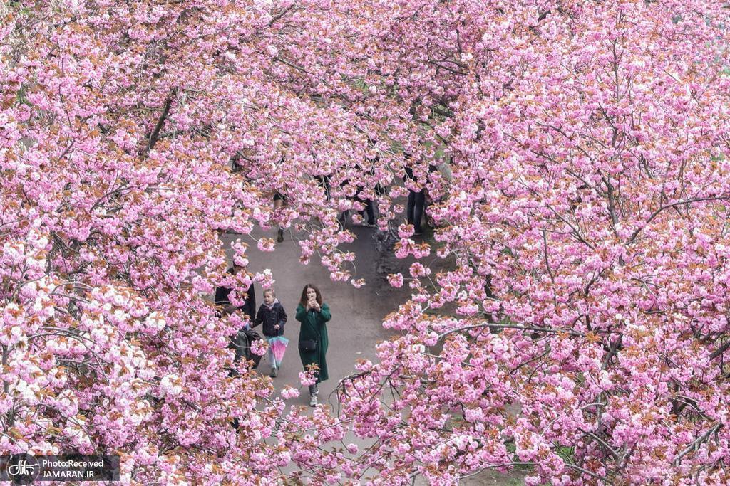 شکوفه های گیلاس در آلمان + عکس