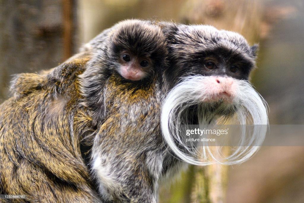 تصاویر جالب از تامارین؛ میمون در خطر انقراض