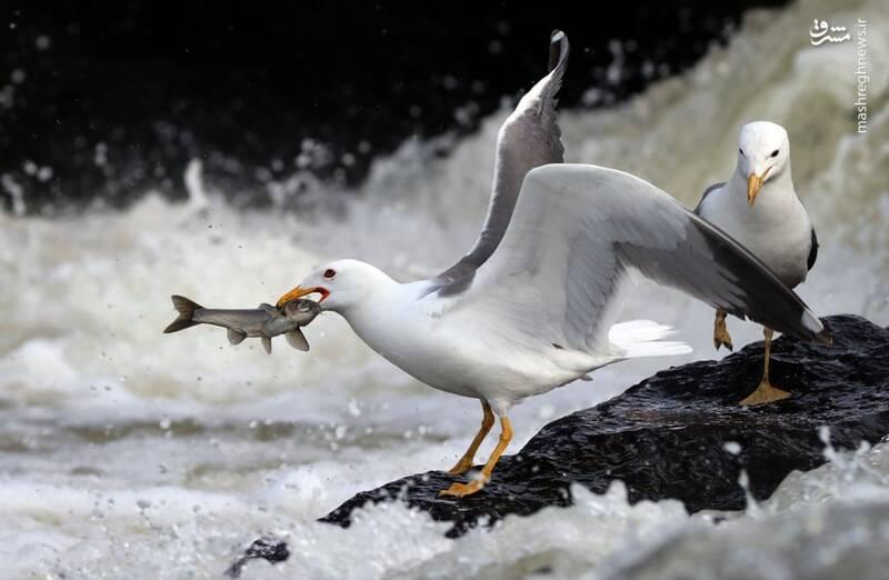 لحظه شکار دیدنی ماهی+عکس
