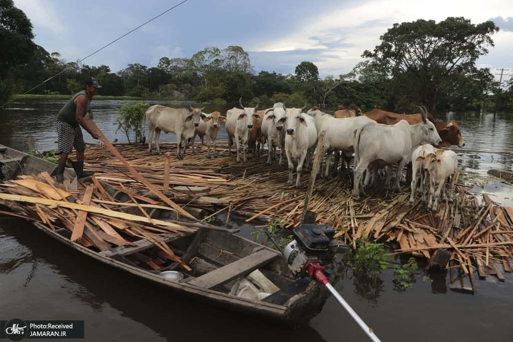 مردی در حال نجات گاوهای خود در میان طغیان رودخانه + عکس