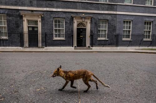 از روباه انگلیسی تا بازگشایی ها در ایتالیا