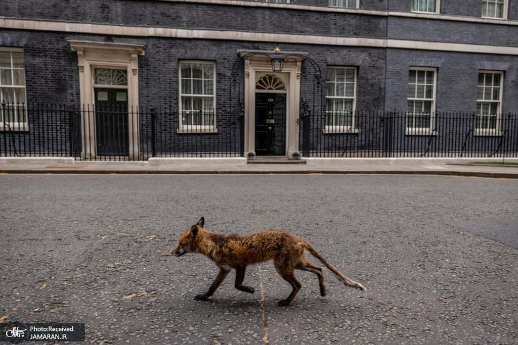 پرسه روباه مقابل ساختمان نخست وزیری انگلیس + عکس