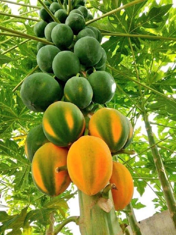 یکی از محصولات خوب بلوچستان پاپایا یا خربزه درختی + عکس