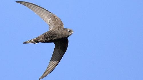 رکورد باورنکردنیِ سریعترین پرنده مهاجر جهان