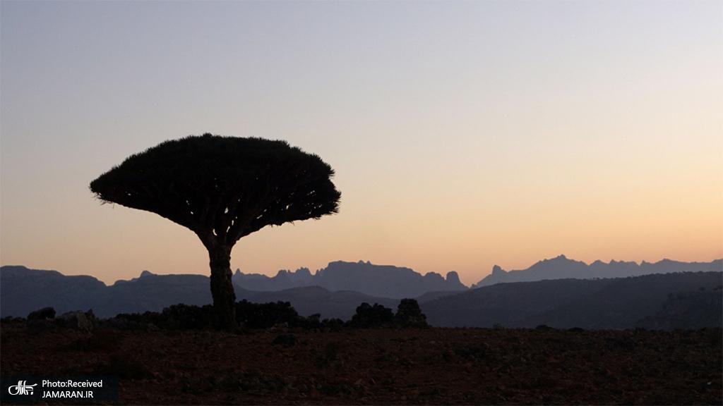 یک درخت اژدها در سحرگاه در جزیره سُقُطرای کشور یمن + عکس