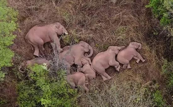 خواب فیلها در جنگلهای چین+عکس