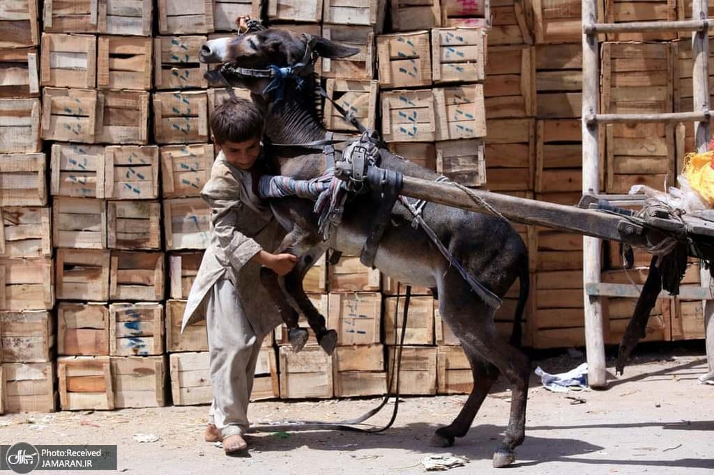 تلاش پسر پاکستانی برای کنترل کردن خرش + عکس
