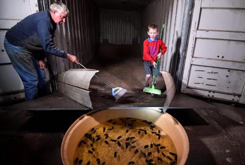 جمع کردن موش در یک انبار ذخیره گندم + عکس