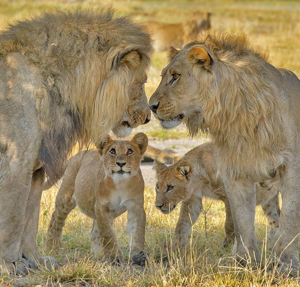 دعوای خانوادگی شیرها در حیات وحش + عکس