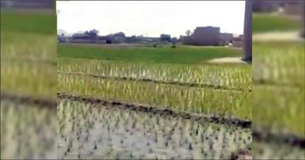 برنج کاری اصفهانیها در بی آبی؟!