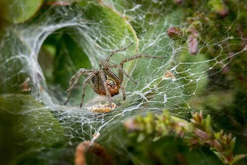 زهر عنکبوت از آسیب بافت قلب، جلوگیری میکند