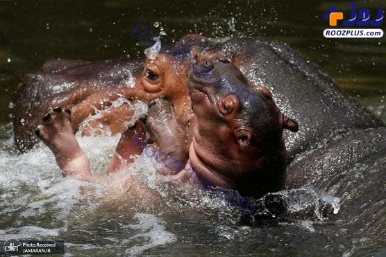 آب تنی کردن اسب های آبی+عکس