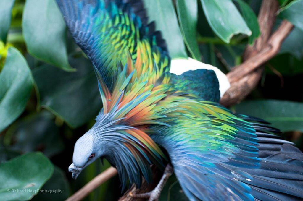 باور کنید این پرنده زیبا، کبوتر است+ عکس