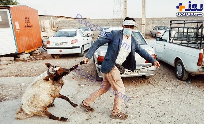 درگیری عجیب گوسفند با صاحبش+ عکس