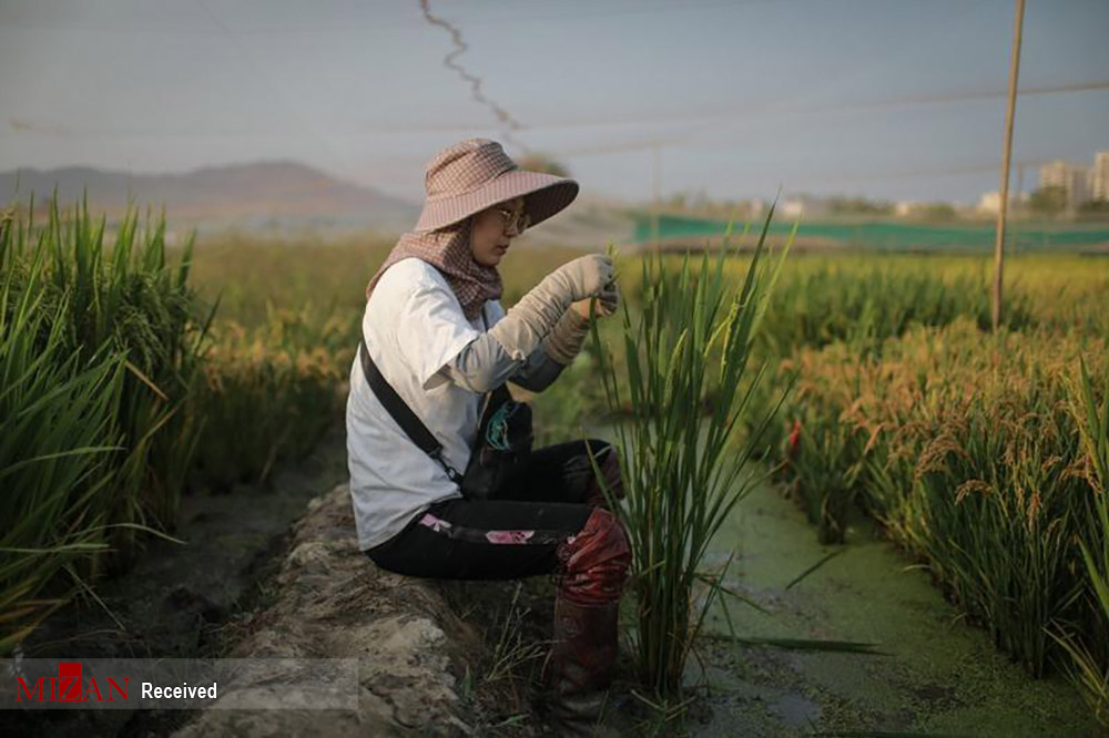 کشت برنج چینی در آب دریا + عکس
