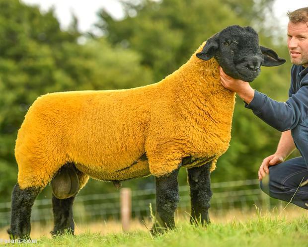 گوسفند لاکچری ۵۲ هزار دلاری + عکس
