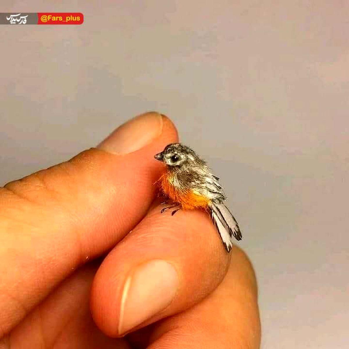 کوچکترین پرنده جهان +عکس