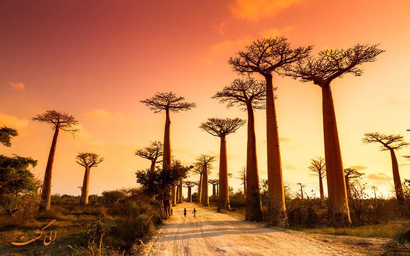 آشنایی با درختان جالب بائوباب