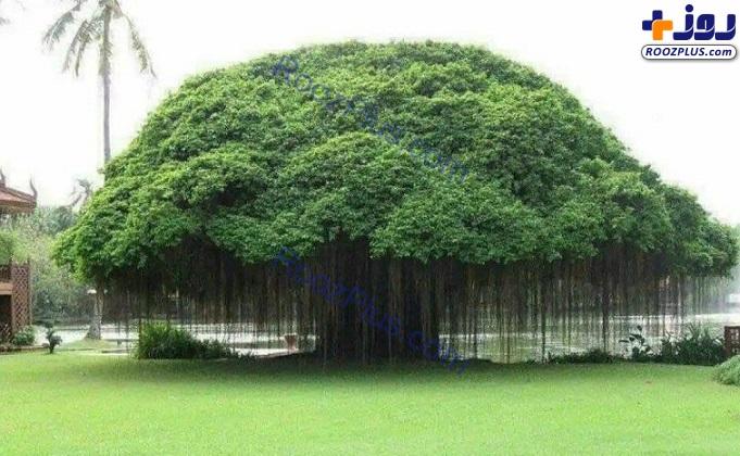 درختی که ریشههای هوایی دارد