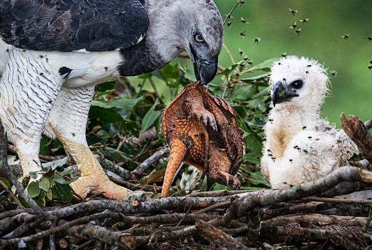 تصویری دیدنی از عقاب هارپی و تغذیه فرزندش