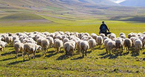 لایو خندهدار یک چوپان و گوسفند شکمو!