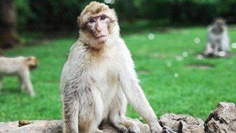 سواری گرفتن جالب میمون از یک آهو