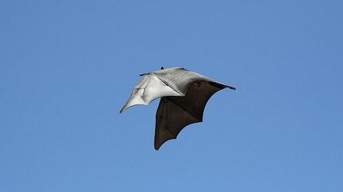 کشف ویروسهایی شبیه به کووید-۲ در خفاش