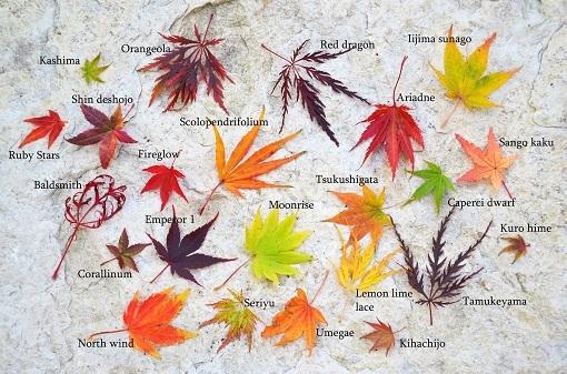 افرا زیباترین درخت دنیا نماد چیست؟