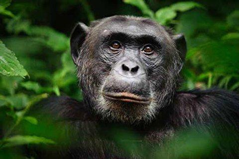 واکنش خندهدار یک شامپانزه به تقلید رفتارش توسط یک انسان