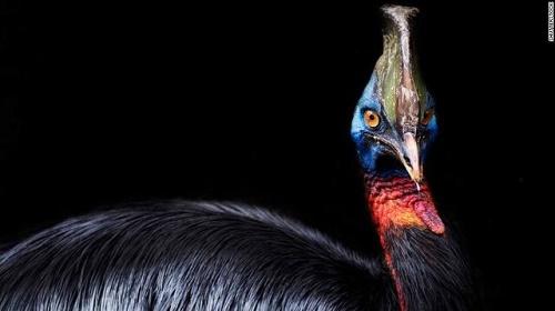 خطرناکترین پرنده جهان، اهلی شده است